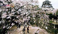 Começa a floração da cerejeira em Shiga. O Observatório Meteorológico da região de Hikone (Shiga) anunciou que as flores de cerejeira da cidade começaram a se abrir desde terça-feira (27). A ocorrência foi de 6 dias mais cedo que a média anual e 9 dias antes em relação ao ano anterior. A causa é a temperatura média mai