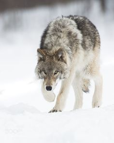Wolf is coming - Pinned by Mak Khalaf Loup gris / Gray wolf Animals Animal PhotographTimber Wolf PicsTimber Wolf PicturesWildlife PhotographWolf PicsWolf Picturesanimalanimalscanadacanis lupusgray wolflouploup grisquebectimber wolfwildlifewildlife photographywolfwolves by maximeriendeau