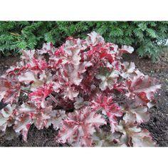 Heuchera micrantha 'Melting Fire'. Purperklokje, rood gekruld blad. Heuchera, Fire, Plants, Gardening, Lawn And Garden, Plant, Planets, Horticulture