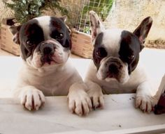 Buddy, the Son, and Bella, the Mom, French Bulldogs❤