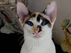 This is a seychellois. A seychellois is a siamese cat with white.