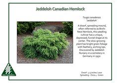 Tsuga canadensis 'Jeddeloh'