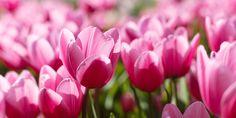6 μυστικά για φύτευση και φροντίδα της τουλίπας   Τα Μυστικά του Κήπου Vegetables, Rose, Flowers, Plants, Pink, Vegetable Recipes, Plant, Roses, Royal Icing Flowers