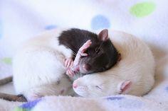 adorable is sleeping ratties