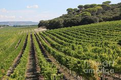 """Spanish Vineyard"" by Carol Groenen  #vineyard #vineyardartprints #fineartphotography #wine #vineyards"