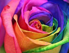 Розата е едно от най-обичаните и разпространени цветя.