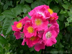 American Pillar.   This is an extremely vigorous rose capable of attaining considerable size. It blooms in clusters late in the season and produces a handsome crop of bright red hips which persist during the fall when the leaves change color to purple.
