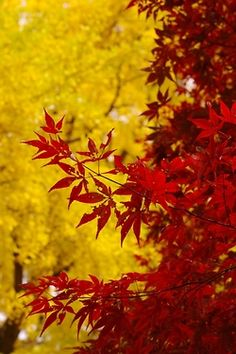 Red and yellow leaves..