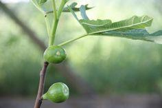 Füge gyümölcsöztetése dézsában