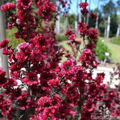 Leptospermum rubrum nana