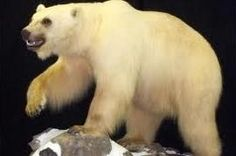 MacFarlane's Bear is a bear shot in 1864. With the exception of unconfirmed sightings, MacFarlane's bear is sometimes thought to have gone extinct since the specimen was obtained in 1864. There have been many theories concerning the origin of MacFarlane's bear, which include suggestions that it may have been a grizzly–polar bear hybrid, or a surviving representative of a Pleistocene species. - Proven to be a brown bear by scientists examining the skull.