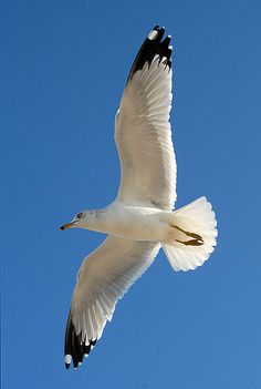 Seagull: flying rats!! lol oh how they used to attack us and our food! :)