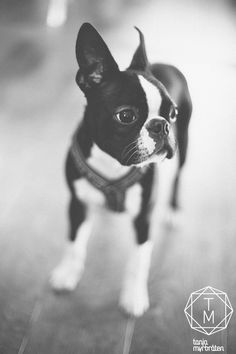 I've made up my mind. I want a Boston Terrier. @Preston Shipley you have my word.
