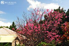 写真は2月初旬に撮影した小浜島・本集落内の民家の庭先。 りっぱな寒緋桜(カンヒザクラ)が咲き、南の島の早い春を告げています。