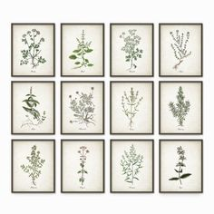 Kitchen Herbs Wall Art Print Set of 12 - Vintage Botanical Herb Prints - Herb Kitchen Decor Illustrations - Picture Set of Twelve (AB243)