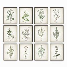 Kitchen Herbs Wall Art Print Set of 12 - Vintage Botanical Herb Prints - Herb Kitchen Decor Illustrations - Picture Set of Twelve (AB243)