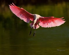 Roseate Spoonbill - U.S. and Canada - BirdWatching Daily - BirdWatching Community