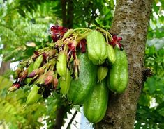 Actually you can get many health benefits of kamias since this plant is often used as herbal medicine. Here are some of the benefits that you can get. Fruit Plants, Fruit Trees, Health Remedies, Home Remedies, Nature Tree, Green Nature, Herbal Medicine, Herb Garden, Healthy Tips