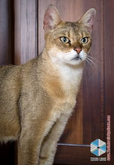 F1 Domestic Chausie Cat - Marechal Cattery