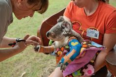 Vicky Toomey, head veterinarian nurse at the Australia Zoo Wildlife Hospital in Beerwah, trims a cast for Harley, who is lucky to be alive and on the mend after being hit by a car.