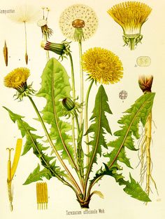 I really HAD to write this post. Over the last week, I have read many comments on Facebook about peoples' battles with dandelions. I ...