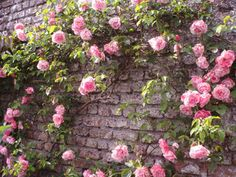 Roses on an old wall.