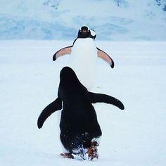 A happy penguin hug to you out there! #tbt #Antartica Regram By @latinamerikaliv  #penguinlove #penguinhug #penguinos #adorableanimals #hugitout