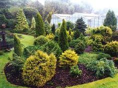 specimen conifers uk - Google Search
