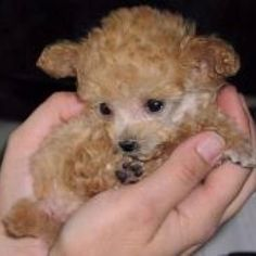 Poodle puppy.  Looks just like Rufus when I first got him.  He only weighed one pound!