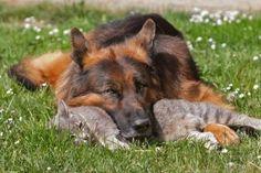 Friendship Between Grey Kitty and German Shepherd