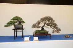 Bonsai trees on display