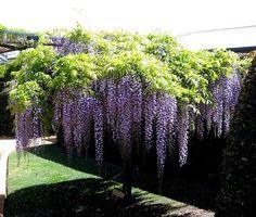 Wisteria – o planta spectaculoasa pentru amenajarea gradinii Wisteria este o planta spectaculoasa cu care putem infrumuseta zone precum terasele, pergolele sau chiar garduri si copertine http://ideipentrucasa.ro/wisteria-o-planta-spectaculoasa-pentru-amenajarea-gradinii/