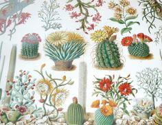1894 cactus plants original antique desert botanical print. $30,00, via Etsy.