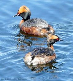 I was happy to be able to catch this photo of two Horned Grebes by the Boat Launch