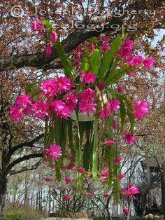 Disocactus hybrid