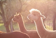 Alpakas Klöch Camel, Animals, Alpacas, Road Trip Destinations, Animales, Animaux, Camels, Animal, Animais