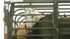Each year, more than 100,000 American horses -- working, racing and companion horses and even children's ponies -- are horrifically slaughtered for human consumption. They are inhumanely transported long distances across our borders, in cramped trailers without food, water or rest. Then they are brutally slaughtered, and their meat is shipped overseas. Sadly, the vast majority of the horses that become victims of this predatory and deceptive industry are young, healthy animals who could have…