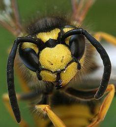 Wespen: Leer de vijand kennen