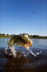 Perfecting Your Bass Fishing Strategies - http://bassfishingmaniacs.com/perfecting-your-bass-fishing-strategies/