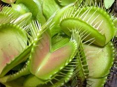 Most people will recognize the Venus Fly Trap, a plant famous for feeding on insects and arachnids. Dionaea muscipula is carnivorous. It closes its jaws when two separate hairs on its surface are. Unusual Plants, Cool Plants, Carnivorous Plants, Medicinal Plants, Insect Eating Plants, Plant Icon, Strange Flowers, Pitcher Plant, Fly Traps