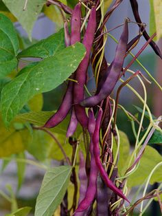 Healthy and delicious green beans are an easy addition to any garden. See more colorful vegetables to grow: http://www.bhg.com/gardening/vegetable/vegetables/grow-colorful-vegetables/?socsrc=bhgpin041313purplebeans=8
