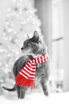 Photo...B&W cat in a holiday scarf