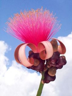 Pink Bombax, Shaving-Brush Tree looks so surreal