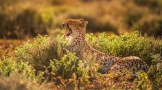 A cheetah yawns while lounging in Tanzania's Ngorongoro Conservation Area in this National Geographic Your Shot Photo of the Day.