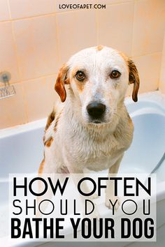 How Often Should You Bathe Your Dog . Bathing your dog too frequently can turn out to be a bad idea, and bathing once in a blue moon can also be disastrous. So, how often should you bathe your dog? Bathing A Puppy, Dog Bath Tub, Dog Care Tips, Pet Care, Puppy Care, Pet Tips, Best Dog Shampoo, Dog Grooming Supplies, Dog Supplies