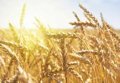 Find Grain Farm Field Sunset Time stock images in HD and millions of other royalty-free stock photos, illustrations and vectors in the Shutterstock collection. Thousands of new, high-quality pictures added every day. Lulav And Etrog, Hulled Barley, Blood Libel, Isaiah 65, Religious Rituals, Wheat Fields, Large Animals, Grains, Photo Editing