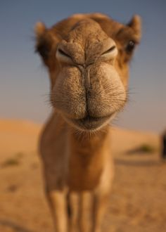 "Don't want to forget this lovely camel puss.  Muuaahhhh. ""Morning Camel Kiss"" by Mike Lewis   HH:  Don't want to forget this lovely camel puss.  Muuaahhhh."