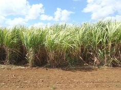 Sugar cane fields in Cuba