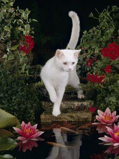 Photo by Jane Burton White Domestic Cat Watching Goldfish in Garden Pond