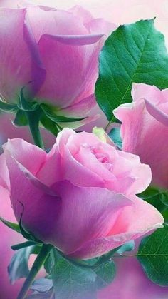 pink roses & green leaves, pink and green Pretty Roses, Beautiful Roses, Beautiful Gardens, Plant Wallpaper, Flower Wallpaper, Purple Roses, Pink Flowers, My Flower, Flower Art